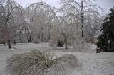 Flattened bush and broken Sycamore Tree