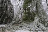 White Pine Damage