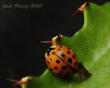 Japanese Beetle on Cactus Leaf