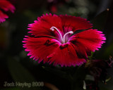 Evening light on the Dianthus