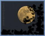 Cottonwood tree atempts to capture the Moon.