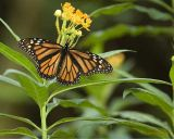 _MG_0867-Monarch.jpg