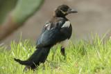 Magpie on Villa Lawn 0114.JPG