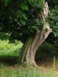 westwood tree 1.JPG