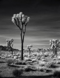Joshua Tree and The Salton Sea in Infrared - 2007