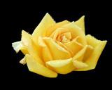 2008 - Rose 01