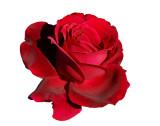 2008 - Rose 02