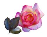 2008 - Rose 03
