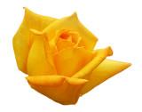 2008 - Rose 17