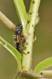 Lady-Beetle-Nymph