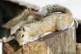 Napping Gray Squirrel
