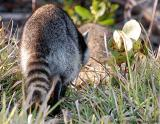 Raccoon Tail