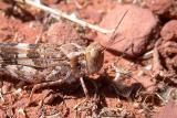 Grasshopper sp.