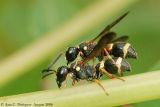 Bee sp.