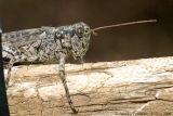 Pine Tree Spurthroated Grasshopper