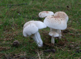 Spotted toughshank (Collybia masculata)