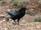 Raven 1.jpg