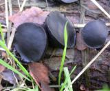 Bulgaria inquinans (Black Bulgar)