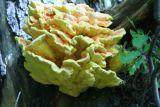 Laetiporus sulphureus (Chicken of the woods)