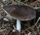 Pluteus cervinus(Deer Shield)