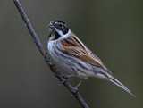 Reed Bunting ( male )