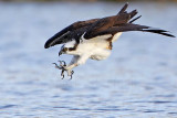 Osprey - 'bathing' dive