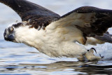 Osprey - Dragging feet in the water