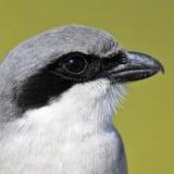 _MG_5787crop Loggerhead Shrike.jpg
