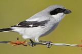 _MG_5933 Loggerhead Shrike.jpg