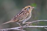 Attwater Prairie Chicken NWR, January 04, 2009: Sparrows