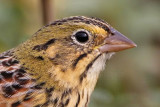 Texas Ammodramus sp sparrows -  Headshots: Henslow's, Le Conte's, Grasshopper, Seaside and Nelson's Sharp-tailed Sparrow