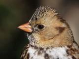 Harris's Sparrow January 2009