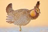 Attwater's Prairie-Chicken: lek (booming ground) January 2009