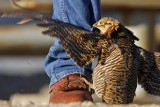 Attwater's Prairie Chicken male attacking cars and people on his lek