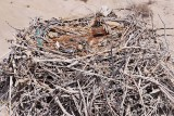 Osprey  - Nest: 1 Egg and 2 Chicks