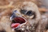 Osprey - Hatchlings