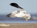 Lesser Black-backed Gull on the wing - UTC - Spring 2009