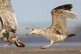 Herring Gull versus Herring Gull - fights, UTC Spring 2009
