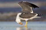 Lesser Black-backed Gull: Portraits - UTC - Spring 2009