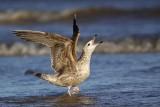 Herring Gull - UTC - Spring 2009