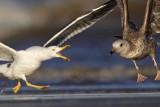 Lesser Black-backed Gull versus Herring Gull - fights, UTC Spring 2009
