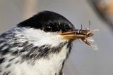 Blackpoll Warbler - Quintana UTC April 26, 2009