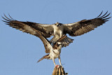 Osprey: EPC - Trying to attempt copulation by a stranger male - female refusal