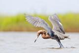 Reddish Egret intermediate (pied) morph 2