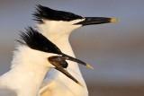 Sandwich Tern casting pellet