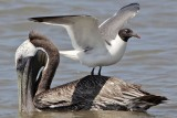 Smart Laughing Gull learned to ride pelicans
