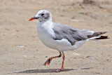 Laughing Gull - leucistic - with pink/red bill and legs