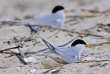 Least Tern: Nest: looking for spot and making scrape