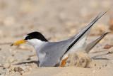 Least Tern: Nest: maintaining scrape