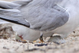 Least Tern laying egg
